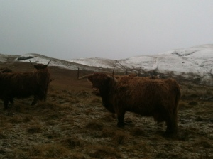 some coos out in the Ochil hills